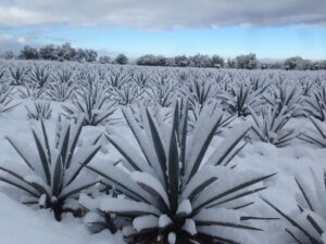 Frozen Agave in Los Altos de Jalisco