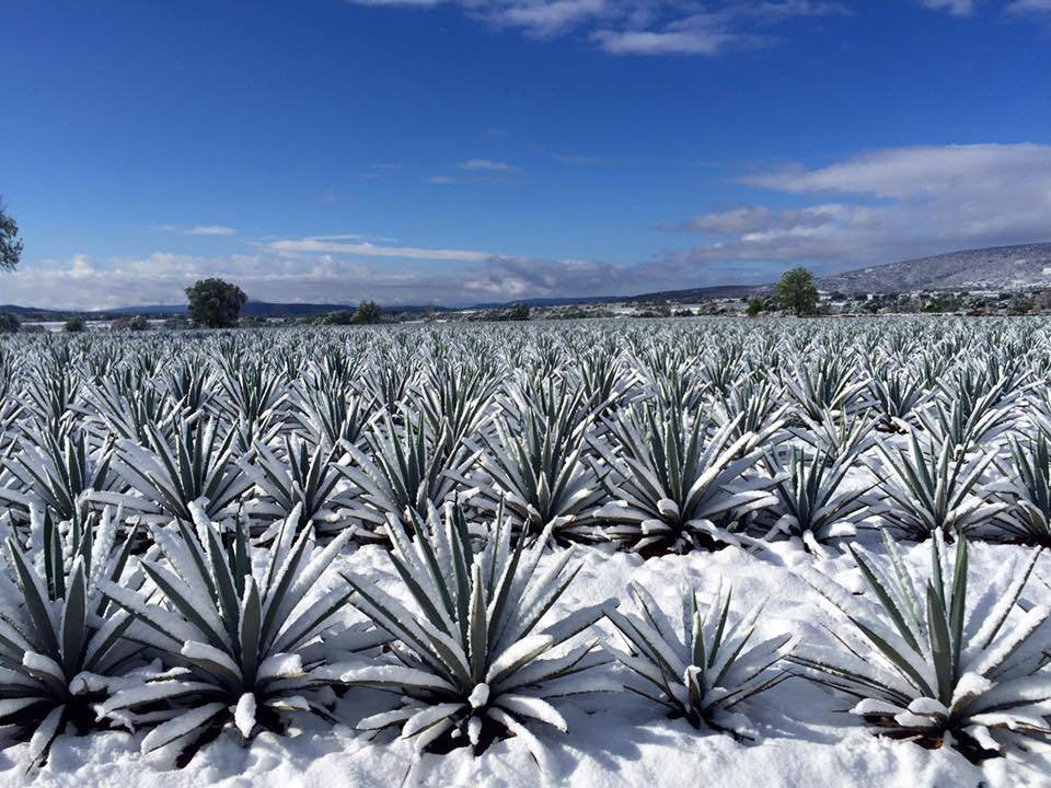 Frozen Blue Agave at La Altena in Arandas Jalisco
